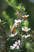 A bee collecting pollen from Manuka flowers.<br /> The first European colonists in New Zealand used Manuka leaves as a substitute for tea. Captain Cook used Manuka to fight scurvy during his long explorations of the southern hemisphere. What&rsquo;s more, he warned about its emetic properties in the case of a strong concentration or over ingestion.