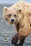Alaska Bears