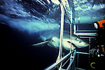 Great white attacks shark cage off Guadalupe Island, Mexico. After this photo was taken the shark got stuck and proceded to destroy the cage before it finally managed to free itself.  Photo Copyright Protected &copy; Dale Sanders / www.dalesanders.info  All Rights Reserved Worldwide.