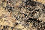 Wild turkeys, Hells Canyon National Recreation Area, Oregon, USA