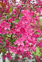 Malus crabapple fruit tree flowering in May