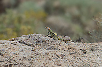 442800027 a wild yellow-backed spiny lizard sceloparus uniformis perches on a large rock in mono county california