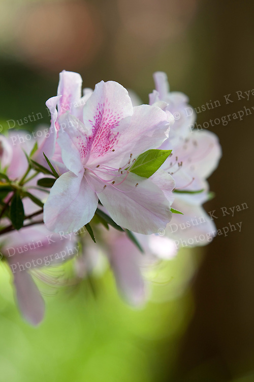 Magnolia plantation south carolina azalea blooming flower
