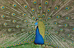 Peacock & Pheasant