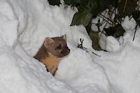 Baummarder, junges Weibchen im Winter bei Schnee, Baum-Marder, Edelmarder, Edel-Marder, Marder, Martes martes, European pine marten