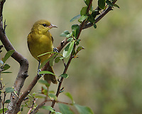 Orchard Oriole, fire-thorn plant perch.