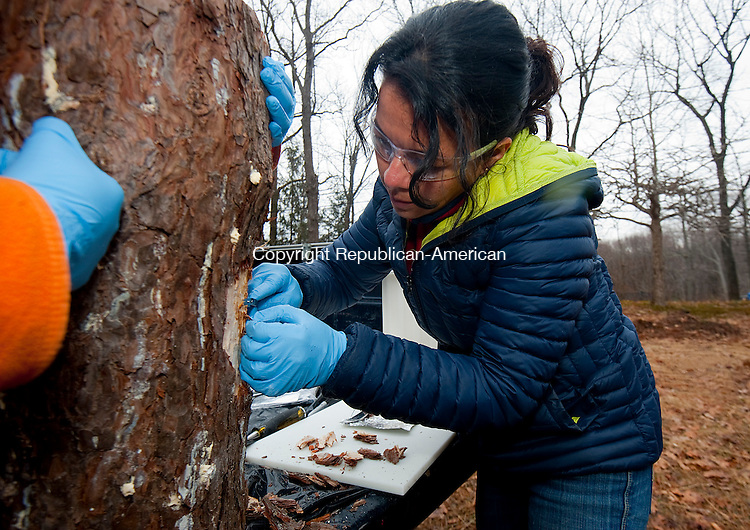 HAMDEN,  CT,  CT-040715JS06- Adriana Arango, a plant biologist with the Connecticut Agricultural Station, takes samples from a tree that was cut down because it was infested with the Southern Pine Beetle Tuesday inside the Naugatuck State Forest in Hamden. <br /> Jim Shannon Republican-American