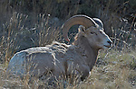 Kootenay wildlife  Rocky Mountain bighorn sheep