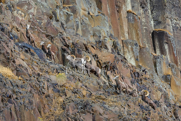 Small band of Bighorn Sheep (Ovis canadensis) near the John Day and Columbia Rivers in North Central Oregon.  October.   Note: These sheep were formerly known as California Bighorn, but are now classified with Rocky Mountain Bighorn.