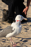 Western gull with Bud on neck and Peninsula Humane Officer, Half Moon Bay
