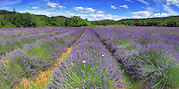 A very common view for the Provence and Rhone-Alps regions in southern France, as in summer there are lavender fields everywhere in the countryside. Nonetheless, an awesome sight to see, and a wonderful playground for every landscape photographer. I took this picture at the beginning of July - the best period indeed for photograhing lavender fields - in some nice partially diffused light at noon..This is a stitch of 7 vertical takes.