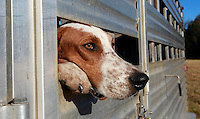 A pack of beagles waits patiently inside a horse trailer for the annual fox hunt to begin in Keswick , Va. Dozens of hounds belonging to the Keswick Hunt Club along with riders and horses are blessed each year before a day of sport. The hunt has been a tradition in the area since the 1800's. Photo/The Daily Progress/Andrew Shurtleff