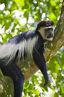 Black and White Colobus Monkey, Queen Elizabeth National Park, Uganda, East Africa