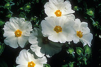 Cistus x obtusifolius 'Thrive' closeup of several blooms with many buds