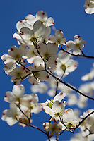 beautiful dogwood tree flowers in bloom