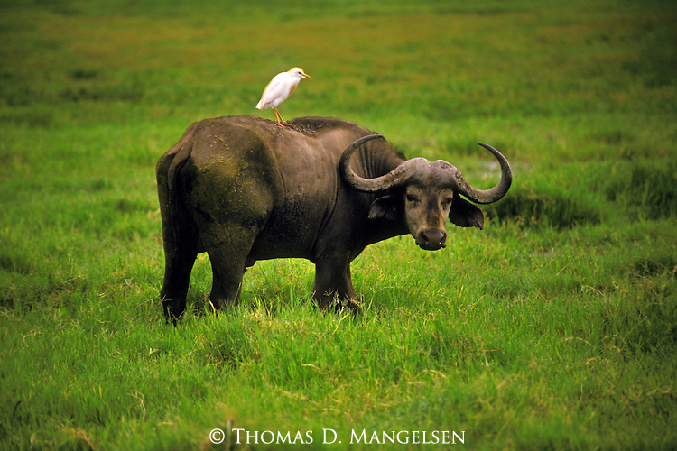 A Cape Buffalo looks out while an egret perches a top its back in Africa.
