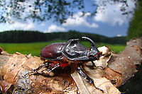 Rhinoceros Beetle (Oryctes nasicornis), Germany.