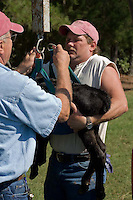 John Stuedemann (left) and his helper weigh a newborn calf in Comer, Ga. on Monday, Sept. 25, 2006. Stuedemann says he applies techniques with his cattle that he has learned since childhood in Iowa, such as positive reinforcement, minimal occurrences of pain or fear, and calm motions and speech.