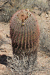 Arizona barrel cactus, Ferocactus wislizenii. Saguaro National Park, Arizona