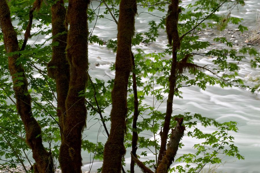 The Elwha flowing behind big leaf maple trees, Olympic National Park, Olympic Peninsula, Clallam County, Washington, USA