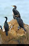 Cormorants, Double-Crested Cormorant, Highway 1, Monterey, California