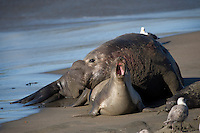 Northern Elephant Seal (Mirounga angustirostris) with young.
