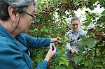 Foto: VidiPhoto<br /> <br /> INGEN - Vakantiewerker, studenten en huisvrouwen slaan maandag de handen ineen bij de oogst van biologische frambozen en bramen bij de biodynamisch fruittuin Fruitweelde in het Betuwse Ingen. Fruitweelde bezit het grootste biologische bramenareaal van ons land. Volgens eigenaar Elze-Lia Visser is de belangstelling voor biologisch fruit &quot;booming&quot; en stijgt het aantal klanten jaarlijks met sprongen. Enerzijds wordt dat volgens haar veroorzaakt door de sterk toenemende consumptie van zachtfruit. Tegelijkertijd is er sprake van een toegenomen wantrouwen van de reguliere fruitsector, waarvan bioboeren profiteren. Behalve bramen en frambozen worden er later in het seizoen ook pruimen en kiwibessen geoogst. Omdat kersen volgens Fruitweelde een broeinest vormen van de schadelijke suzukifruitvlieg, is de complete oogst precentief vernietigd en worden de bomen gerooid. Mede daardoor heeft Visser dit jaar geen last van de suzuki.