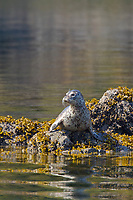 Harbor seal hauled out on rocks to thermoregulate in the sunshine of Unakwik Inlet, Prince William Sound, Alaska.