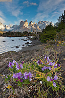 Purple wild pea blossoms along the Pehoe lake, Torres del Paine National Park, Chile