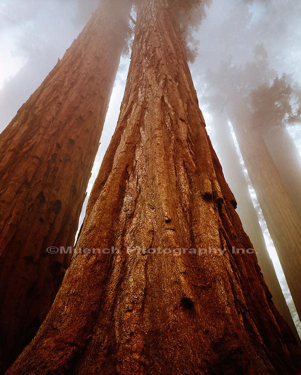 Giant Sequoias, Parker Group Sequoia-Kings Canyon National Park, Sierra Nevada Mountains