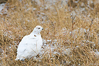 Willow ptarmigan in winter phase on the tundra of the arctic north slope, Alaska.