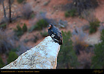 California Condor #19, South Rim, Grand Canyon, Arizona