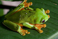 A red eyed tree frog in a Costa Rica rainforest.