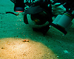 My dive buddy approaches a flamboyant cuttlefish (&amp;quot;Pfeffer's Flamboyant Cuttlefish,&amp;quot; &lt;em&gt;Metasepia pfefferi&lt;/em&gt;) on the sandy bottom of the Lembeh Strait.  The cuttlefish is that tiny little lump, surrounded and dwarfed by camera lens, lights and strobes.  We came across a number of flamboyant cuttlefish in the sand along the bottom of the Lembeh Strait.  This is a very small beastie; the ones we saw were between two and four inches (say, about 5 to 10 cm) long, including tentacles.  Normally its coloration is very drab -- dull shades of brown, looking like a rock on the sandy bottom where it lives, &amp;quot;walking&amp;quot; around the bottom using its lower arms (tentacles).  But it adopts bright, almost pulsating shades of red, purple, and pink with that distinctive yellow border when disturbed (for instance, by a hulking diver shoving a large camera lens into its &amp;quot;face&amp;quot;).