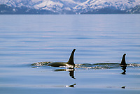 Orca cow and calf dorsal fin, Prince William Sound, Alaska