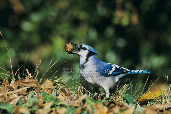 Blue Jay, Cyanocitta cristata,adult with Pecan, San Antonio, Texas, USA