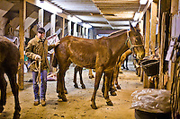 A pack wrangler in the Yaki Mule barn preparing his string for the round trip to Phantom ranch.