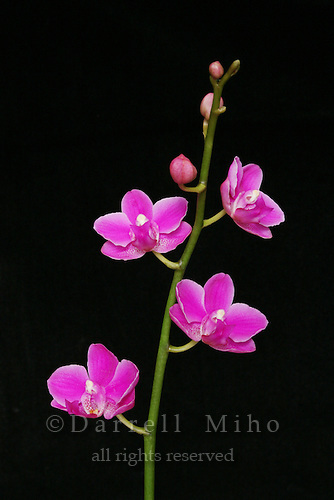 magenta orchid flowers on stem on black background