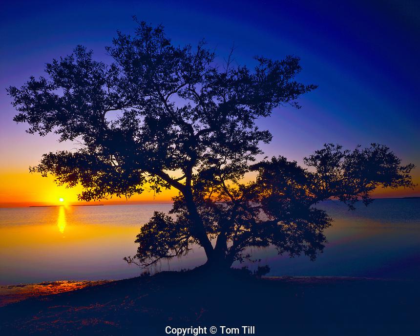 Black Mangrove, Florida Bay at Falmingo, Everglades National Park, Florida   Gulf of Mexico