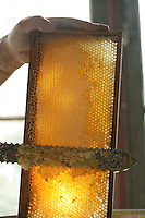 Shallow frames let the tantalizing colors of honey gleam in the light as they are uncovered by an uncapping knife.