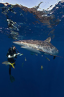 TH2656-D. Silky Shark (Carcharhinus falciformis), grows to 3.3m, usually pelagic, sometimes in big schools. Here a scuba diver (model released) swims close to take a picture with an underwater camera. Cuba, Caribbean Sea.<br /> Photo Copyright &copy; Brandon Cole. All rights reserved worldwide.  www.brandoncole.com