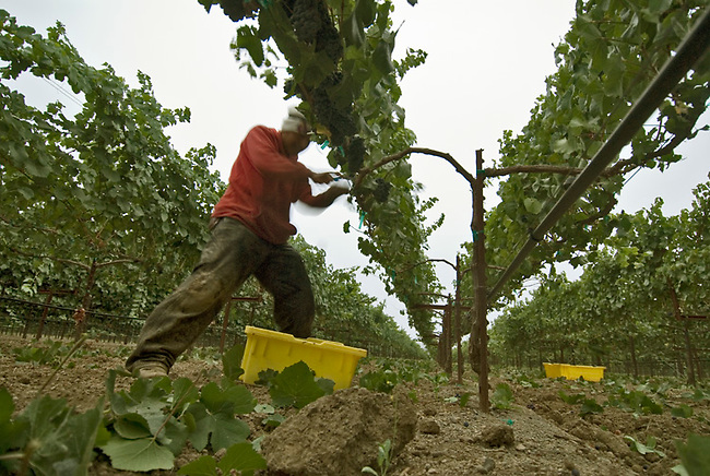 Field worker picks grapes near Yountville