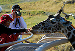 Feeding reticulated giraffe at Living Desert Reserve