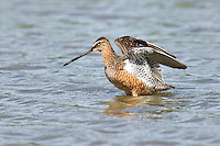 Long-billed Dowitcher wading in shallow water