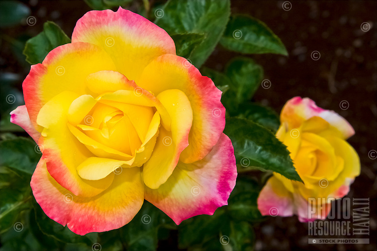 """A close-up of a """"Love and Peace"""" hybrid tea rose in Hawai'i. This rose is a 2002 All-America Rose Selection, winner of the World's Highest Rose award for superior qualities shown in two years' nationwide testing and judging."""