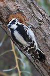 A woodpecker searches out bugs within a tree for its meal by pecking a large hole in a branch.