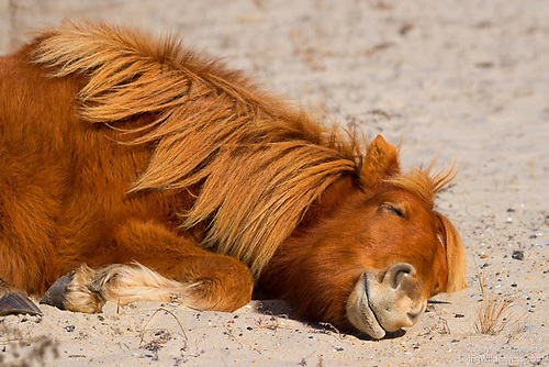 Assateague Horse, Chincoteague Pony, Assateague Island National Seashore, Maryland
