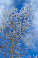 snow covered Aspen Tree in The Santa Fe Mountains
