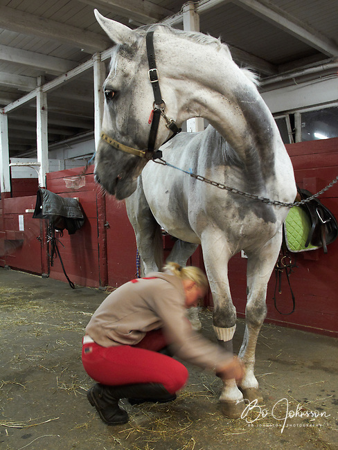 Cornelia is bandaging Furato's legs for the night. <br /> After the last friday evening riding lesson at Malmo Civila Ryttareforening in Malmo, Sweden. <br /> The woven text on Furato's halter says &quot;envis&quot; (stubborn).<br /> August 2009.<br /> Only for editorial use.