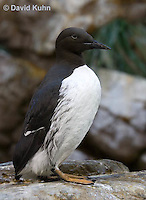0727-1009  Common Murre (Common Guillemot), North American Seabird, Uria aalge  © David Kuhn/Dwight Kuhn Photography